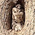 Screech Owl (26351675671).jpg