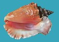 Sea shell (Trinidad & Tobago 2009)-solid field.jpg