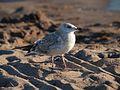 Seagull at Hietaniemi beach.jpg