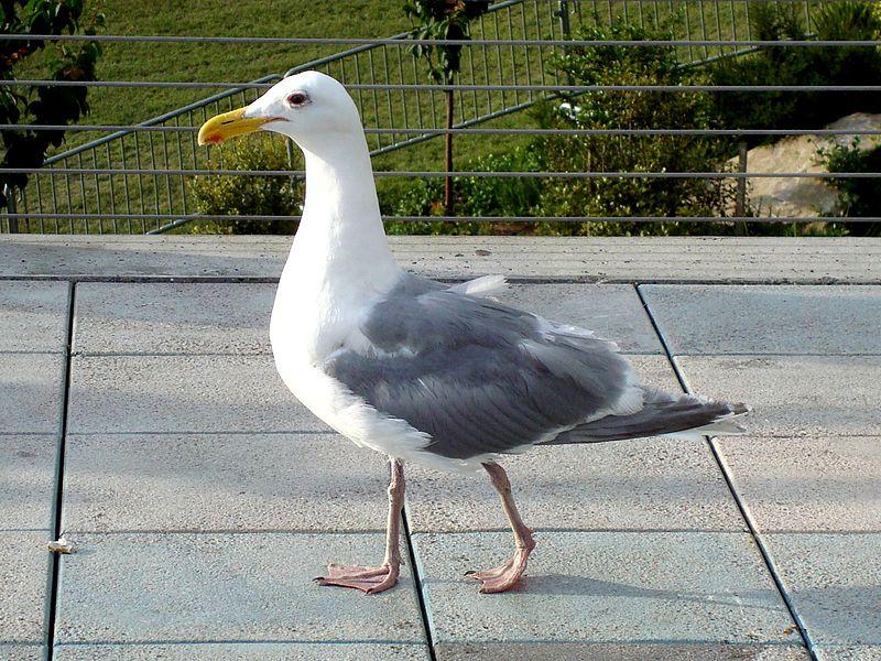Ficheiro:Seagull in Seattle.jpg
