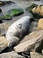 Seal photographed at Colombo, Sri Lanka.jpg