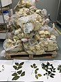 Seed and leaf collections at CNGB Herbarium.jpg