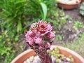 Sempervivum Flower and hoverfly (4842906449).jpg