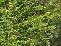Senna polyphylla, Desert Senna at Secunderabad, AP W IMG 6659.jpg