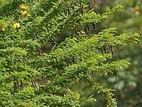 Senna polyphylla, Desert Senna at Secunderabad, AP W IMG 6659