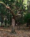 Sergievka - Old tree.jpg