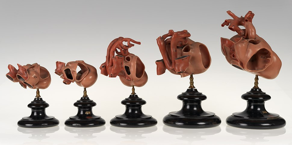 Set of wax models showing development of the rabbit heart, twentieth century (24226156252)
