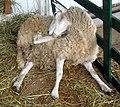 Sheep lick (121696521).jpg