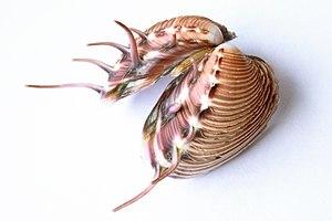 Pitar lupanaria - A shell of Pitar lupanaria