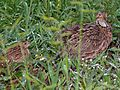 Shelley's Francolin (Scleroptila shelleyi) (6041527276).jpg