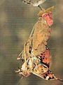 Siamese Apod.jpg