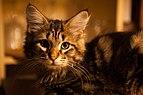 Siberian black tabby blotched cat 03.jpg