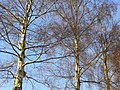 Silver birch in winter 3 - geograph.org.uk - 1187622.jpg