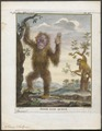 Simia satyrus - 1773-1807 - Print - Iconographia Zoologica - Special Collections University of Amsterdam - UBA01 IZ19800025.tif