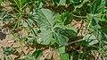 Siratro leaf (17269843055).jpg