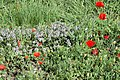 Sirmione, meadow flowers.jpg