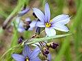 Sisyrinchium albidum-flower.jpg