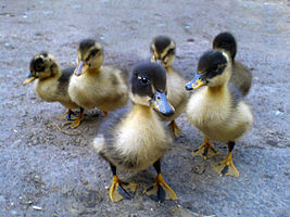 Six ducklings.JPG
