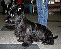 Skye terrier 2009 pl.jpg
