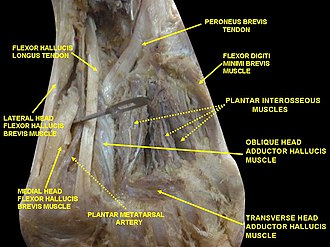 Flexor hallucis longus muscle - Image: Slide 1ABBBA