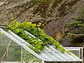 Small greenhouse with grapevines escaping - roof.jpg