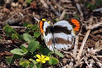 Colotis euippe - Female, uMkhuze Game Reserve, KwaZulu-Natal, South Africa