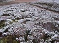 Snow dusted heather - geograph.org.uk - 613474.jpg