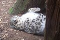 Snow leopard at binder park zoo.JPG