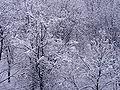 Snowed-in trees20090218 12.jpg