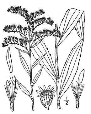 Description de l'image Solidago gigantea05.jpg.