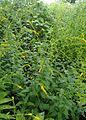 Solidago ulmifolia kz3.jpg