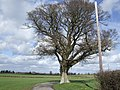 Solitary oak - geograph.org.uk - 351194.jpg