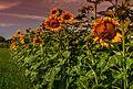 Sonnenblumen am Vierhöfeweg in Resse - panoramio.jpg