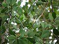 Sonneratia alba (7204604046).jpg
