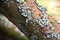 Sophora microphylla in Auckland Botanic Gardens 02.jpg