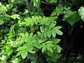 Sorbus aucuparia (14351263111).jpg