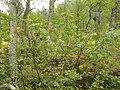 Sorbus scopulina (8088060677).jpg