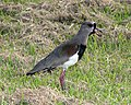 Southern Lapwing (Vanellus chilensis) - Flickr - Lip Kee.jpg