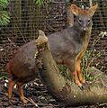 Southern Pudu, Edinburgh Zoo.jpg
