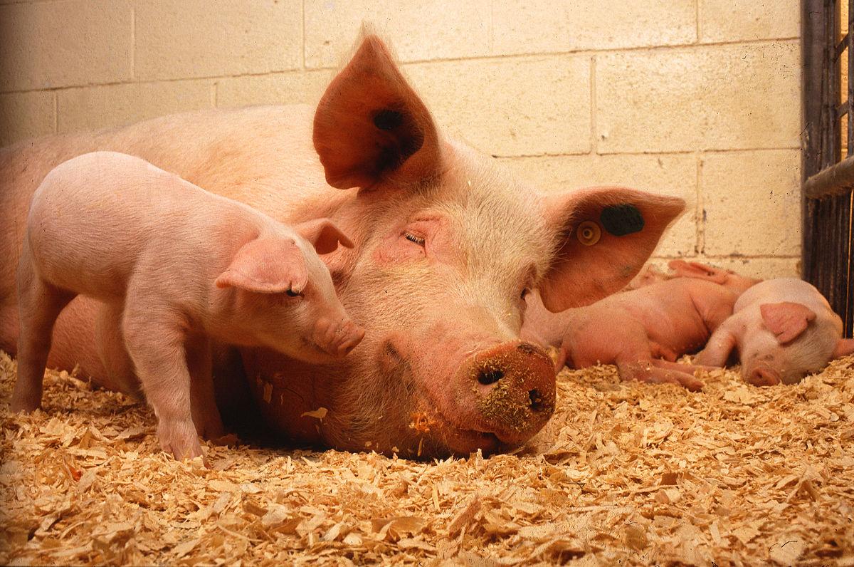 Рождение домашних свиней и содержание смотреть