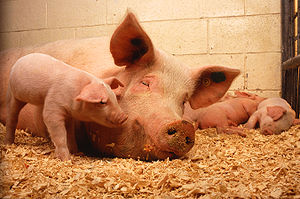 Swine are considered non-kosher (unfit or uncl...
