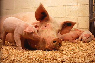 Large White pig - A sow with piglets