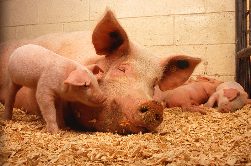 קובץ:Sow and five piglets.jpg