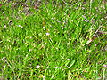 Spergularia salicornia.jpg