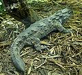 Sphenodon punctatus.jpg