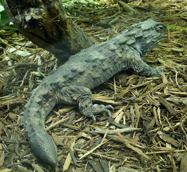Bestand:Sphenodon punctatus.jpg