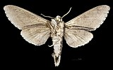 Sphingulus mus MHNT CUT 2010 0 317 Ussuri, Gornotajosnoje, Russia, male ventral.jpg