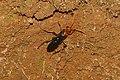 Spider wasp 9022.jpg