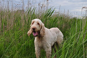 Spinone Italiano - The Spinone is easy going, docile, and affectionate towards both people and dogs.