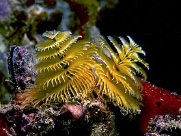 Spirobranchus giganteus (Christmastree Worm - yellow variation).jpg